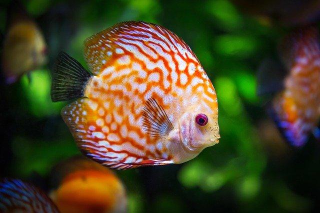 poissons discus, poissons, aquarium