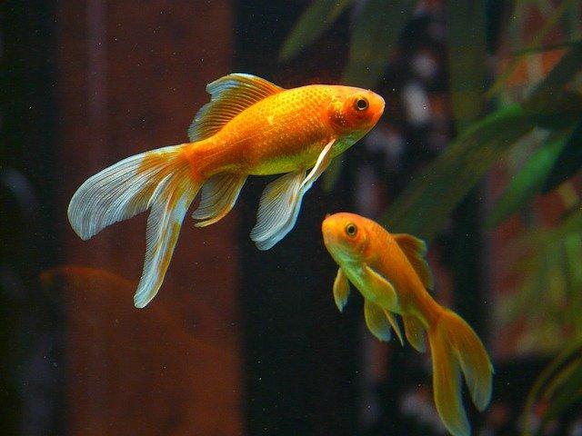 veiltail, poisson, poisson rouge
